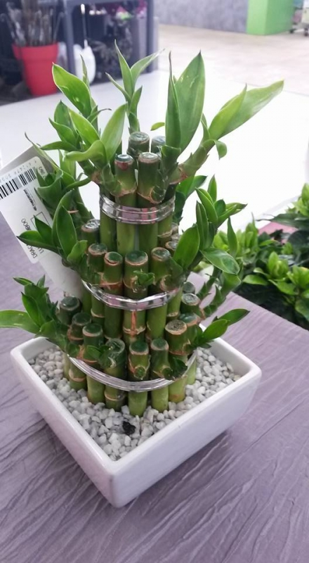 animation les plantes d 39 int rieur en feng shui sur rennes betton isabelle gillet serenite. Black Bedroom Furniture Sets. Home Design Ideas